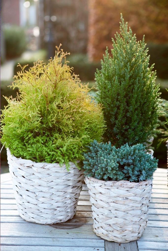Gartenpflanzen | Winterharte Gartenpflanzen Die Christrose Trifft Auf Nadelbaume
