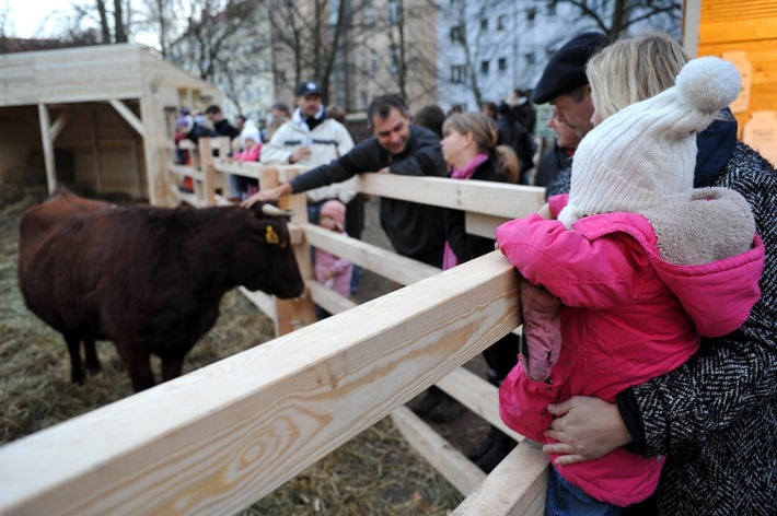 Berliner staunen: Kuhweide in Prenzlauer Berg (mit Bild)