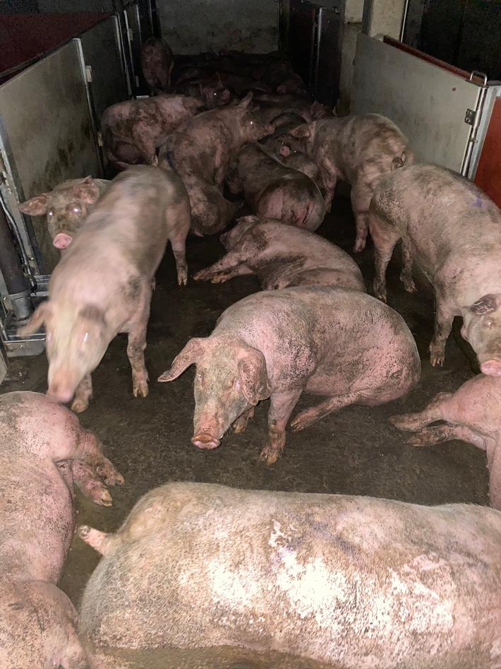Schweine_im_Schlachthof Gärtringen Juni2020.JPEG