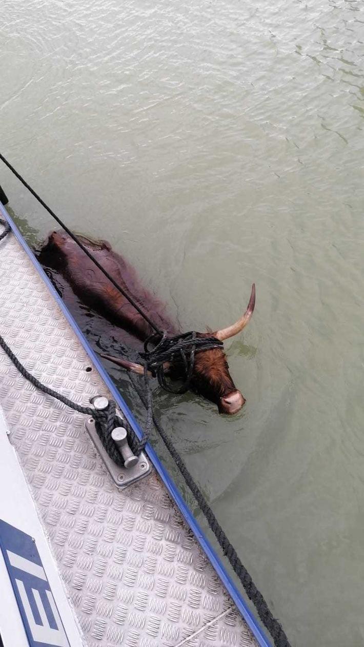 POL-DU: Münster: Bei den Hörnern gepackt - Wasserschützer retten Rind aus dem Kanal