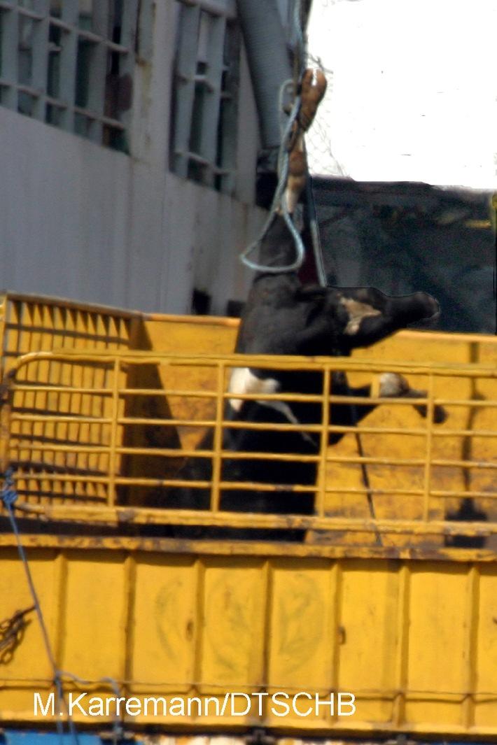 """Beirut 2005: Immer noch werden Millionen an EU-Subventionen für Tierqual gezahlt. Mehr als 200.000 Rinder werden in den Vorderen Orient """"verschifft"""" und wie Stückgut behandelt. Die Verwendung dieses Bildes ist für redaktionelle Zwecke honorarfrei. Abdruck bitte unter Quellenangabe: """"Deutscher Tierschutzbund/M. Karremann/DTSCHB"""""""