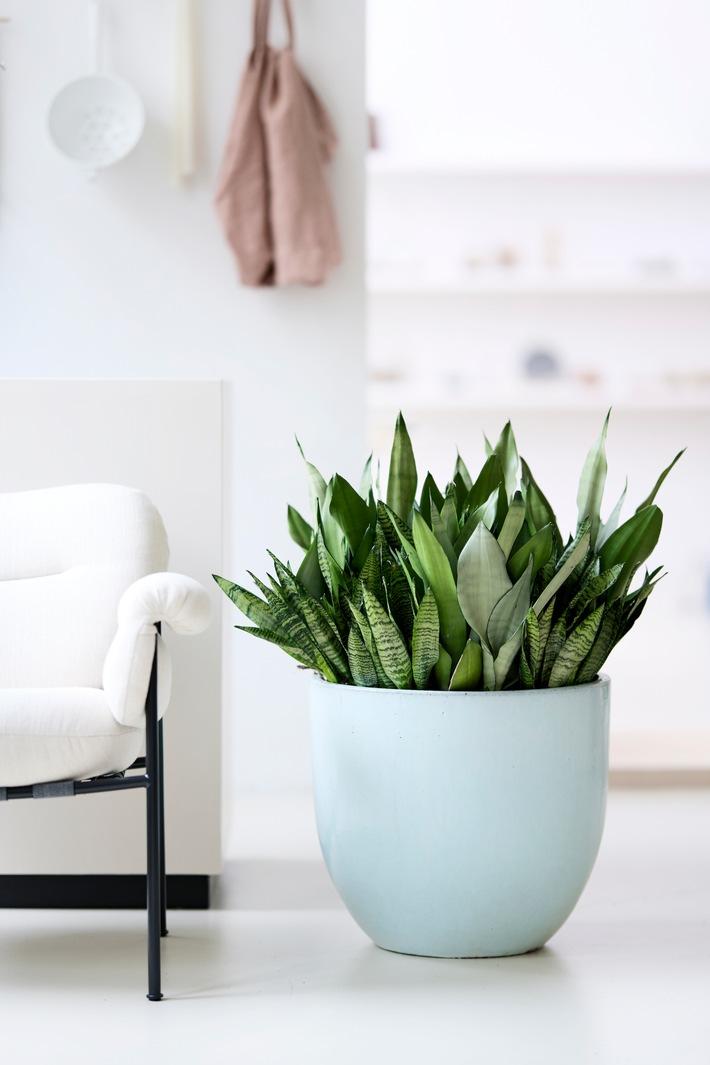 Bogenhanf im hellen Interieur - Pflanzenfreude.de.jpg