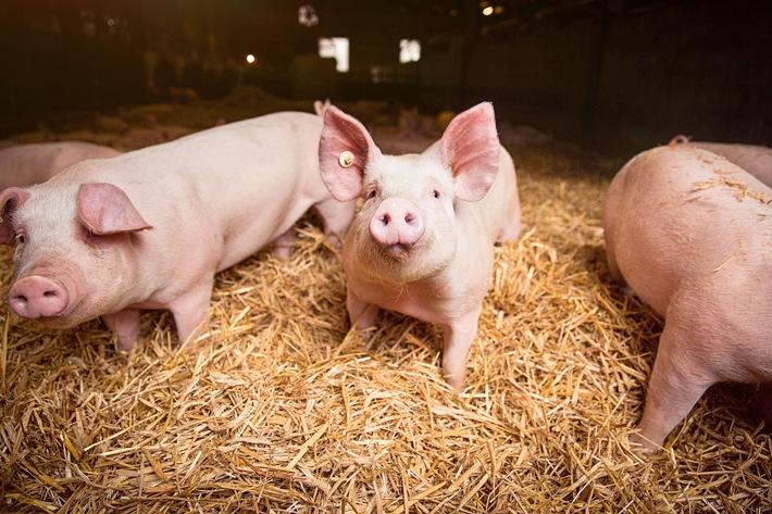 """Dank des Strohs im Stall können die Schweine im Wertschätze-Programm ihren Wühltrieb ausleben. Weiterer Text über ots und www.presseportal.de/nr/111476 / Die Verwendung dieses Bildes ist für redaktionelle Zwecke honorarfrei. Veröffentlichung bitte unter Quellenangabe: """"obs/Kaufland/moodmacher studio"""""""