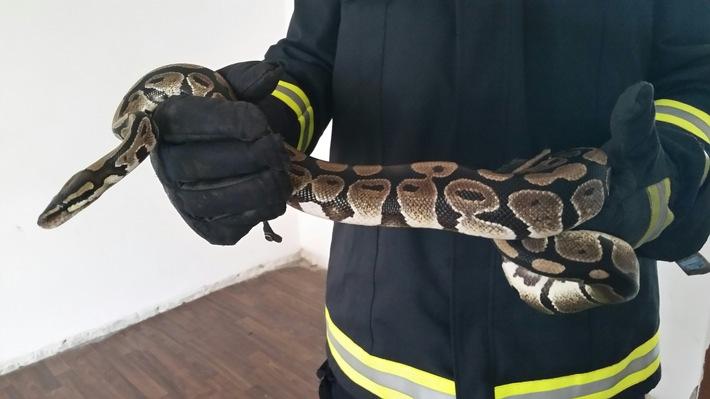 Die ein Meter lange Königspython in den Hände des Feuerwehrmanns.