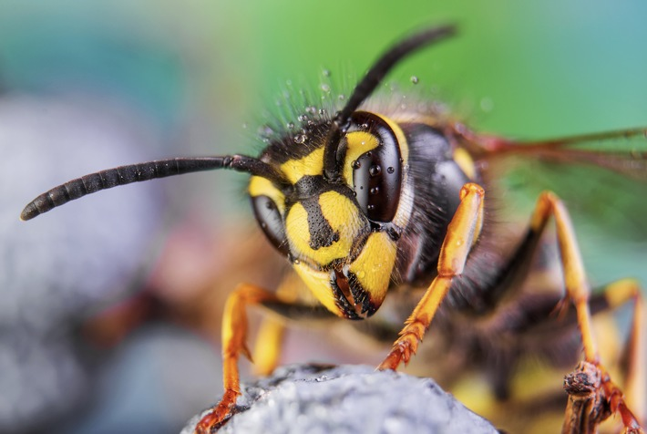 Bammel vor Bienen: Jeder Vierte hat Angst - mit Recht?