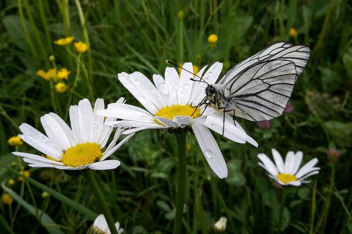BILD zu OTS - Bei individuellen Tagestouren durch die Klammen oder auf zwei geführten Nachtwanderungen trifft man auf bunte Schmetterlinge und geht dem Geheimnis der seltenen Falter auf den Grund.