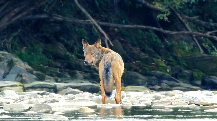 1_Im_Wolfsgebirge_der_Ostkarpaten.jpg