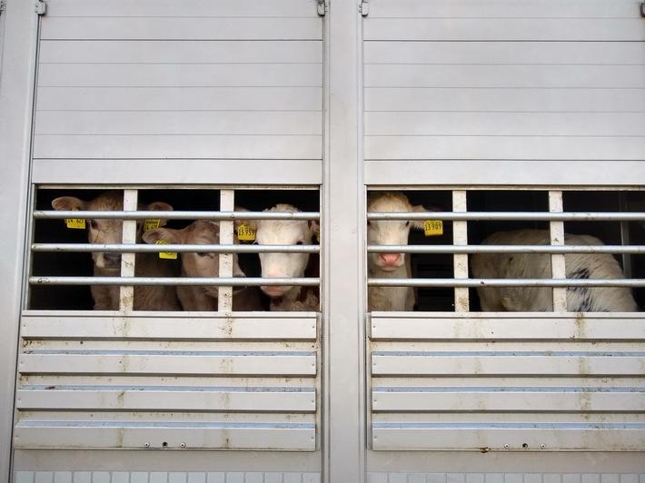 kontrollierter Tiertransport: Kälber, die zu einem Mastbetrieb transportiert werden. Tierschutzrechtlich war alles in Ordnung.  ++ Polizei und Veterinäramt Uelzen kontrollieren ++ Tiertransporte im Visier ++ verkehrs- und tierschutzrechtliche Verstöße geahndet ++