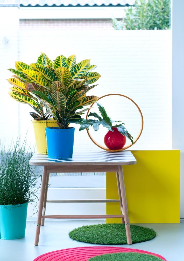 m nnerpflanzen sind zimmerpflanzen des monats juni die. Black Bedroom Furniture Sets. Home Design Ideas