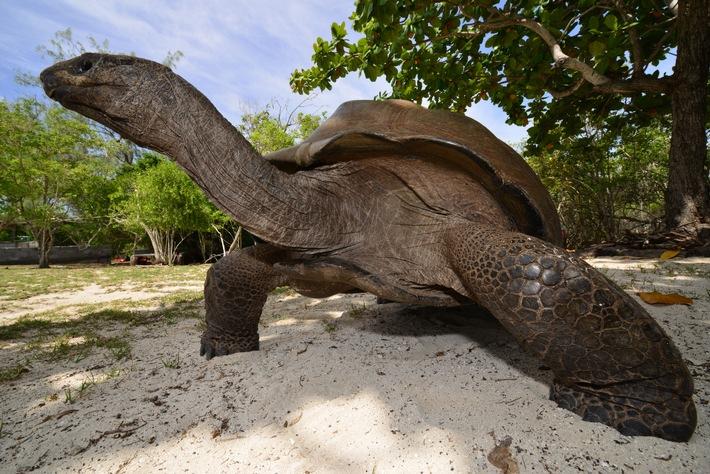 """Nur 22 Passagiere haben pro Jahr die Chance, mit Silhouette Cruises an Bord der »Maya's Dugong« das Aldabra-Atoll zu entdecken. Dort wartet die weltweit größte Population an Riesenschildkröten. Weiterer Text über ots und www.presseportal.de/nr/108430 / Die Verwendung dieses Bildes ist für redaktionelle Zwecke honorarfrei. Veröffentlichung bitte unter Quellenangabe: """"obs/Silhouette Cruises"""""""