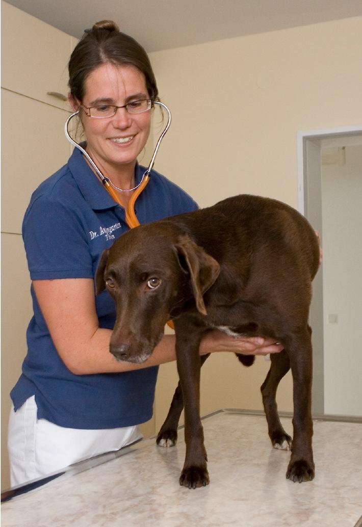 """Diagnose """"herzkrank"""" (mit Bild) / Jeder zehnte Hund, der von einem Tierarzt untersucht wird, leidet an einer Herzerkrankung"""