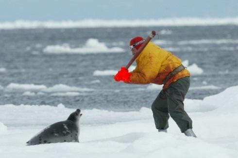 Das jährliche Schlachten auf dem Eis hat begonnen (c) IFAW