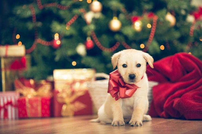 Bevor Hund, Katze und Co. unter dem Weihnachtsbaum landen, gibt es einige Punkte, die beachtet werden sollten. Foto: Mein Haustier/iStock/fotostorm