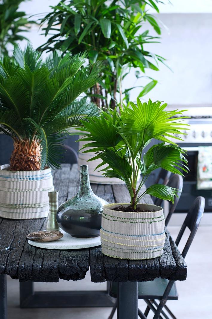exklusive palmen sind zimmerpflanzen des monats februar harmonie pur mit gr nen presseportal. Black Bedroom Furniture Sets. Home Design Ideas