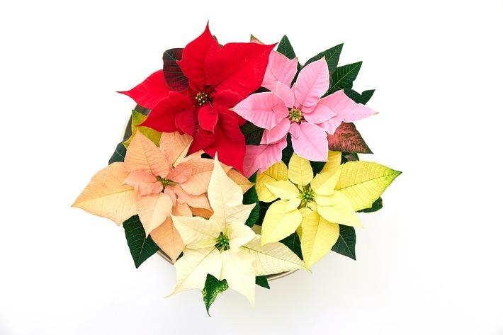 Weihnachtssterne gibt es in vielen verschiedenen Farben und Größen. Filigrane Mini-Sterne eignen sich besonders gut für die Gestaltung abwechslungsreicher Adventsdekorationen.
