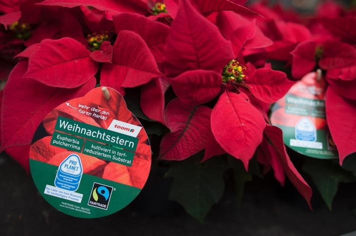 Weihnachtssterne mit gutem Gewissen kaufen / toom stellt gesamtes Weihnachtsstern-Sortiment auf fair produzierte und gehandelte Pflanzen um
