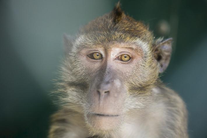 """«S'ils avaient le choix ...» Interdire les expériences sur les primates leur causant des contraintes [ Photo symbolique; Source: commons.wikimedia.org; CC-BY-SA 4.0 ]. Texte complémentaire par ots et sur www.presseportal.ch/fr/nr/100019041 / L'utilisation de cette image est pour des buts redactionnels gratuite. Publication sous indication de source: """"obs/Schweizer Tierschutz STS/commons.wikimedia.org; CC-BY-SA 4.0"""""""
