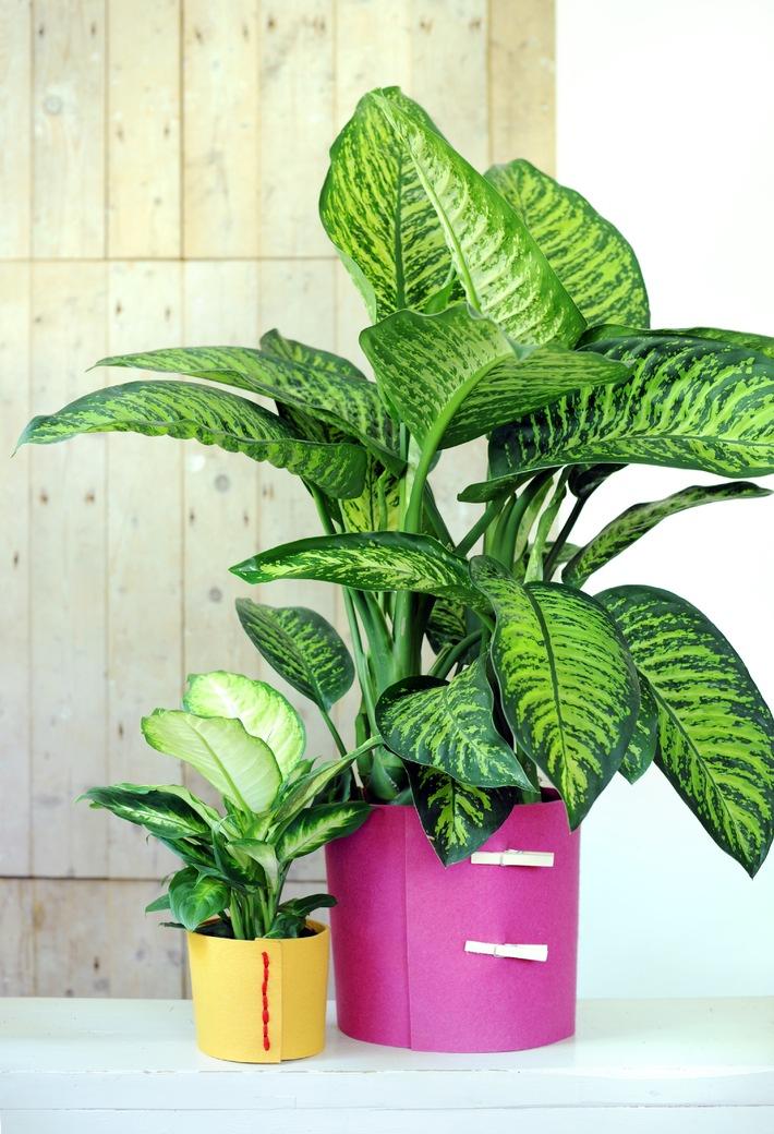 Hippie-Chic mit der sommerlich-exotischen Dieffenbachia / Dieffenbachia ist Zimmerpflanze des Monats Juli