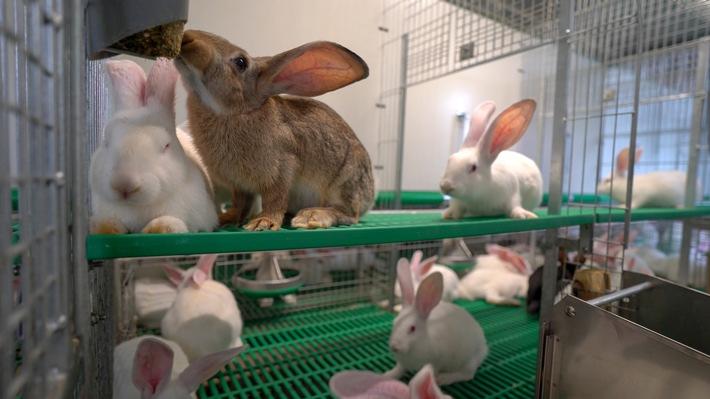 """Kaninchen im neu entwickelten Haltungssystem. Weiterer Text über ots und www.presseportal.de/nr/111476 / Die Verwendung dieses Bildes ist für redaktionelle Zwecke honorarfrei. Veröffentlichung bitte unter Quellenangabe: """"obs/Kaufland"""""""
