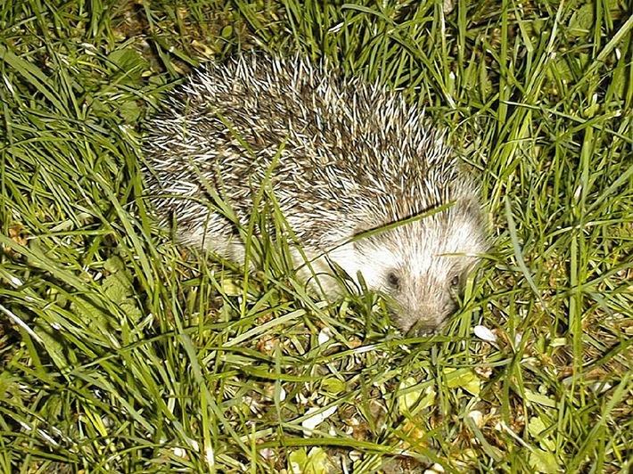 Igel aus Winterschlaf erwacht / VIER PFOTEN gibt Tipps zum Umgang mit den stacheligen Wildtieren (BILD)
