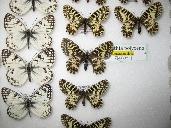 sichergestellte Schmetterlingspräparate