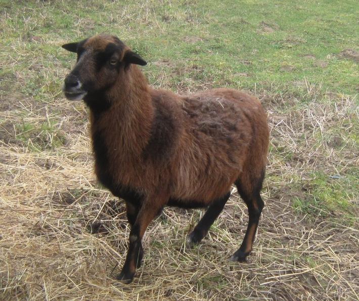 POL-PDWO: Schaf gestohlen