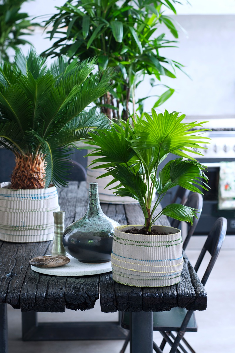 ▷ Exklusive Palmen sind Zimmerpflanzen des Monats Februar ...