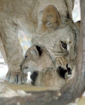 Raubtiere leben länger / Neue Studie weist verbesserte Haltung in Zoos weltweit nach