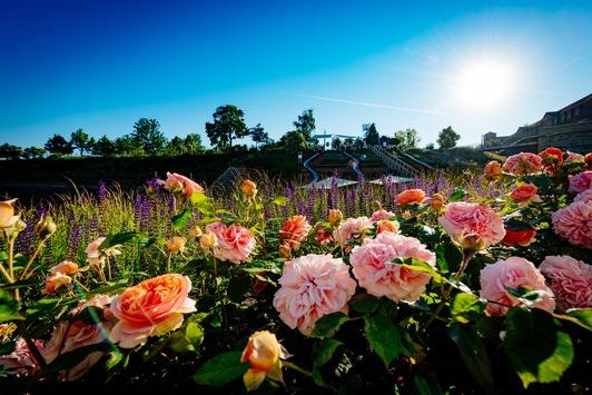 Rosen auf der BUGA Erfurt 2021