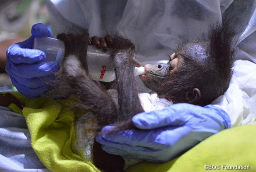 Bereits drei Orang-Utan-Babys im Jahr 2021 gerettet / Das jüngste Baby ist erst sechs Monate alt