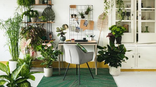 Studie über den Einfluss von Zimmerpflanzen im Homeoffice / Entspannter Chef dank Zimmerpflanzen