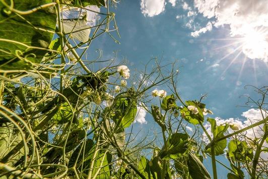 Körnererbsenblüte 2021 / Ein Mauerblümchen blüht auf