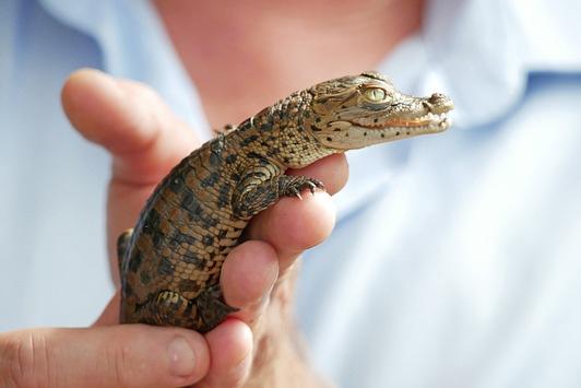 Nützlinge mit Imageproblem / Das Zootier des Jahres 2021 ist das Krokodil
