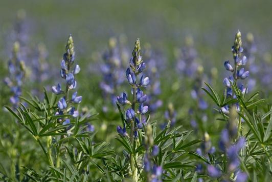 Süßlupinenblüte 2021 / Blau, blau, blau blüht…die Süßlupine