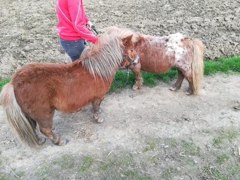 POL-AC: Zwei Ponys ausgebüxt – mit Möhren statt Handschellen