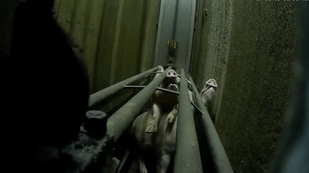 Tierschutz fordert Verbot grausamer Erstickungsbetäubung / SOKO Tierschutz Recherchen beweisen massenhaften Rechtsbruch bei Schweinebetäubung