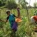Des petits agriculteurs indiens cultivent des tomates. Texte complémentaire par ots et sur ...