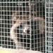 Chien viverrin dans une cage de ferme d\'élevage. Texte complémentaire par ots et sur www.presseportal.ch/fr/nr/100004691 / ...