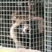 Racoon dog. Weiterer Text über ots und www.presseportal.ch/de/nr/100004691 / Die Verwendung dieses Bildes ist für ...